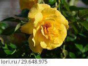 Купить «Цветок чайно-гибридной розы Кип Смайлинг (Rosa Keep Smiling), Fryer's Roses, Англия, 2004», эксклюзивное фото № 29648975, снято 21 июля 2015 г. (c) lana1501 / Фотобанк Лори