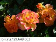 Купить «Роза кустарниковая Мериголд Свит Дрим (лат. Marigold Sweet Dream), Fryer's Roses, Великобритания 2010», эксклюзивное фото № 29649003, снято 21 июля 2015 г. (c) lana1501 / Фотобанк Лори
