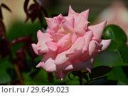 Купить «Роза чайно-гибридная Сент-Сэйшн (Сцент-Сейшн, Сент-Сэйши) (Scent-Sation), Fryers Roses, Англия 1998», эксклюзивное фото № 29649023, снято 23 июля 2015 г. (c) lana1501 / Фотобанк Лори
