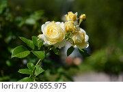 Роза кустарниковая Клэа Остин (Rose Clair Austin, Ausprior) David Austin, Великобритания 2007. Стоковое фото, фотограф lana1501 / Фотобанк Лори