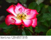 Роза флорибунда Бетти Буп (Betty Boop), Carruth США, 1999. Стоковое фото, фотограф lana1501 / Фотобанк Лори