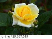Купить «Роза чайно-гибридная Вандэ Глоб (лат. Vendee Globe). Francois Dorieux II (France, 2000), Laperriere», эксклюзивное фото № 29657519, снято 23 июля 2015 г. (c) lana1501 / Фотобанк Лори