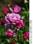 Купить «Цветы чайно-гибридной розы Муди Блю (лат. Rosa Moody Blue), Fryer's Roses, Великобритания 2008», эксклюзивное фото № 29657739, снято 23 июля 2015 г. (c) lana1501 / Фотобанк Лори