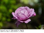 Купить «Цветок чайно-гибридной розы Муди Блю (лат. Rosa Moody Blue), Fryer's Roses, Великобритания 2008», эксклюзивное фото № 29657743, снято 23 июля 2015 г. (c) lana1501 / Фотобанк Лори