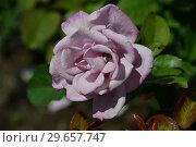 Купить «Чайно-гибридная роза Муди Блю (лат. Rosa Moody Blue), Fryer's Roses, Великобритания 2008», эксклюзивное фото № 29657747, снято 23 июля 2015 г. (c) lana1501 / Фотобанк Лори