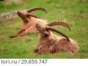 Купить «Ibex (Capra ibex) exemplary male in the National park Gran Paradiso. Italy.», фото № 29659747, снято 8 июня 2018 г. (c) age Fotostock / Фотобанк Лори