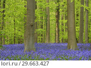 Купить «Bluebell flowers (Hyacinthoides non-scripta) carpet hardwood beech forest in early spring. Halle, Hallerbos, Brussels, Vlaanderen (Flanders), Belgium, Europe.», фото № 29663427, снято 27 апреля 2015 г. (c) age Fotostock / Фотобанк Лори