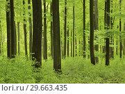 Купить «Vital green forest in spring. Westerwald, Rhineland-Palatinate, Germany.», фото № 29663435, снято 28 апреля 2015 г. (c) age Fotostock / Фотобанк Лори