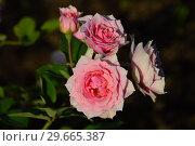 Купить «Роза кустарниковая Ля Роз Бордо (лат. La Rose Bordeaux (MASrobo). Guillot Massad, Франция 2000», эксклюзивное фото № 29665387, снято 24 июля 2015 г. (c) lana1501 / Фотобанк Лори