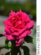Роза чайно-гибридная Критерион (лат. Criterion). De Ruiter. Laperriere (Лаперье), Франция 1966. Стоковое фото, фотограф lana1501 / Фотобанк Лори