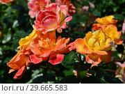 Роза полиантовая Солей дю Монд (Rosa Soleil du Monde), Delbard France, 2001. Стоковое фото, фотограф lana1501 / Фотобанк Лори
