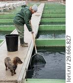 Купить «Female catching fish from reservoir on sturgeon farm», фото № 29666827, снято 4 февраля 2018 г. (c) Яков Филимонов / Фотобанк Лори