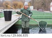 Купить «Female standing in fish tank fishing for sturgeon with landing net», фото № 29666835, снято 4 февраля 2018 г. (c) Яков Филимонов / Фотобанк Лори