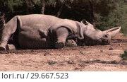 Купить «Rhino in the Wild», видеоролик № 29667523, снято 25 августа 2019 г. (c) Wavebreak Media / Фотобанк Лори