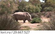 Купить «Rhino in the Wild», видеоролик № 29667527, снято 25 августа 2019 г. (c) Wavebreak Media / Фотобанк Лори