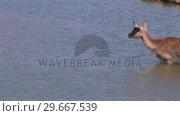 Купить «Impala in Water», видеоролик № 29667539, снято 20 июня 2019 г. (c) Wavebreak Media / Фотобанк Лори