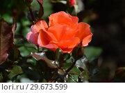 Купить «Роза чайно-гибридная Джекс Виш (лат. Jack s Wish), C&K Jones. Gordon Kirkham, Великобритания, 2003», эксклюзивное фото № 29673599, снято 23 июля 2015 г. (c) lana1501 / Фотобанк Лори
