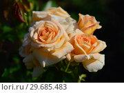Купить «Роза флорибунда Салвейшн (Салвейшен) (лат. Salvation), Harkness Roses, Великобритания 2005», эксклюзивное фото № 29685483, снято 27 июля 2015 г. (c) lana1501 / Фотобанк Лори