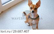 Купить «Cute little dog looking at camera», видеоролик № 29687407, снято 19 января 2016 г. (c) Wavebreak Media / Фотобанк Лори