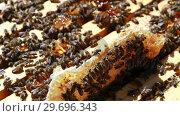 Купить «Close-up of honey bee frame covered with bees», видеоролик № 29696343, снято 27 октября 2016 г. (c) Wavebreak Media / Фотобанк Лори