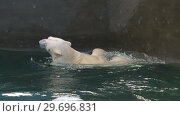 Купить «Polar bear playing in water», видеоролик № 29696831, снято 30 октября 2018 г. (c) Игорь Жоров / Фотобанк Лори