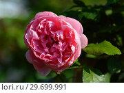 Купить «Роза флорибунда Комтесса де Сегюр (Комтесса дю Сегюр) (Графиня де Сегюр) (Rosa Comtesse De Segurt), Delbard Франция, 1994», эксклюзивное фото № 29699991, снято 27 июля 2015 г. (c) lana1501 / Фотобанк Лори