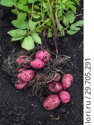 Купить «Картофель нового урожая», фото № 29705291, снято 22 августа 2018 г. (c) Ольга Сейфутдинова / Фотобанк Лори