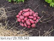 Купить «Картофель нового урожая», фото № 29705343, снято 22 августа 2018 г. (c) Ольга Сейфутдинова / Фотобанк Лори