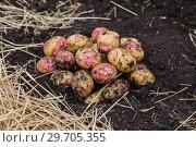 Купить «Картофель нового урожая», фото № 29705355, снято 22 августа 2018 г. (c) Ольга Сейфутдинова / Фотобанк Лори