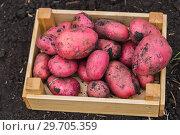 Купить «Картофель нового урожая в деревянном ящике», фото № 29705359, снято 22 августа 2018 г. (c) Ольга Сейфутдинова / Фотобанк Лори