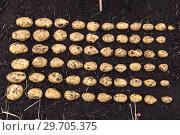 Купить «Картофель нового урожая выложен на земле по размеру клубня», фото № 29705375, снято 22 августа 2018 г. (c) Ольга Сейфутдинова / Фотобанк Лори
