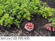 Купить «Картофель в мешочке на поле», фото № 29705435, снято 22 августа 2018 г. (c) Ольга Сейфутдинова / Фотобанк Лори