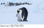 Купить «Emperor Penguin with chicks in Antarctica», видеоролик № 29710751, снято 28 декабря 2018 г. (c) Vladimir / Фотобанк Лори