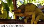 Купить «Portrain of Parsins Chameleon in Marozevo, Toamasina province, Madagascar», фото № 29715035, снято 10 декабря 2018 г. (c) Сергей Майоров / Фотобанк Лори