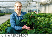 Купить «Young woman gardener in gloves working with euphorbia pulcherrima in pots», фото № 29724007, снято 3 октября 2018 г. (c) Яков Филимонов / Фотобанк Лори