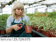 Купить «Female gardener with scissors trimming plants of cinta in greenhouse», фото № 29724075, снято 20 августа 2018 г. (c) Яков Филимонов / Фотобанк Лори