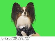 Купить «Beautiful dog Papillon in business suit with bow tie on green background», фото № 29728727, снято 25 августа 2019 г. (c) Юлия Машкова / Фотобанк Лори