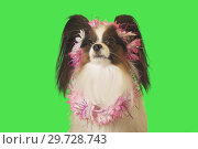 Купить «Beautiful dog Papillon in garland of flowers on green background», фото № 29728743, снято 25 августа 2019 г. (c) Юлия Машкова / Фотобанк Лори