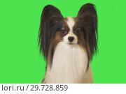 Купить «Beautiful dog Papillon male on green background», фото № 29728859, снято 25 августа 2019 г. (c) Юлия Машкова / Фотобанк Лори
