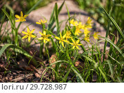 Купить «Гусиный лук», фото № 29728987, снято 15 апреля 2018 г. (c) Юлия Бабкина / Фотобанк Лори