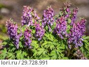 Купить «Corydalis solida, хохлатка», фото № 29728991, снято 15 апреля 2018 г. (c) Юлия Бабкина / Фотобанк Лори