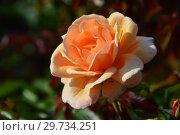 Купить «Чайно-гибридная роза Зе Чешир Реджимент (FRYyat, Cheshire Regiment, Good Morning), (лат. Rosa The Cheshire Regiment). Fryer Roses, Великобритания 1996», эксклюзивное фото № 29734251, снято 27 июля 2015 г. (c) lana1501 / Фотобанк Лори