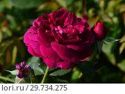 Купить «Роза кустарниковая Дарси Басселл (AUSdecorum, Monferrato), (Darcey Bussell). David Austin Roses, Великобритания 2006», эксклюзивное фото № 29734275, снято 27 июля 2015 г. (c) lana1501 / Фотобанк Лори
