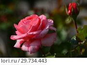 Купить «Роза чайно-гибридная Артур Рембо (Meihylvol), (Arthur Rimbaud). Meilland, France 2008», эксклюзивное фото № 29734443, снято 19 июля 2015 г. (c) lana1501 / Фотобанк Лори