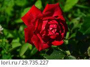 Купить «Роза чайно-гибридная Валентино (Barval), (лат. Valentino). Barni, Италия 2009», эксклюзивное фото № 29735227, снято 25 июля 2015 г. (c) lana1501 / Фотобанк Лори