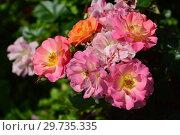 Купить «Роза полиантовая Бордюр Камае (Бордюр Камайо, DELcapo), (лат. Bordure Camaieu). Delbard, France 2001», эксклюзивное фото № 29735335, снято 17 июля 2015 г. (c) lana1501 / Фотобанк Лори