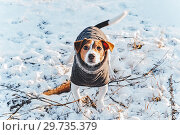 Купить «Happy adorable jack russell terrier dog with cozy clothing», фото № 29735379, снято 6 января 2015 г. (c) Kira_Yan / Фотобанк Лори