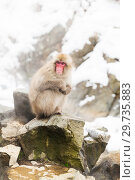 Купить «japanese macaques or snow monkeys at hot spring», фото № 29735883, снято 7 февраля 2018 г. (c) Syda Productions / Фотобанк Лори