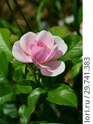 Купить «Роза флорибунда Наташа Ричардсон (Harpacte), (Rosa Natasha Richardson). Harkness Roses (Розы Харкнесса), Великобритания 2011», эксклюзивное фото № 29741383, снято 17 июля 2015 г. (c) lana1501 / Фотобанк Лори