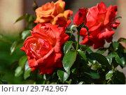 Купить «Роза чайно-гибридная Ремембэ Ми (Римембер Ми, Macpadspo), (лат. Rosa Remember Me). C&K Jones, Новая Зеландия. Cocker, Великобритания 1984», эксклюзивное фото № 29742967, снято 17 июля 2015 г. (c) lana1501 / Фотобанк Лори